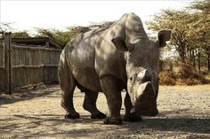 Rinocerontes blancos en peligro de extinción Foto: EFE