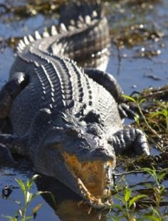The Indo-Pacific Saltwater Crocodile expanded its range from Eastern India across Southeast Asia to the northern coast of Australia.