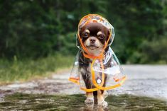 Effective Potty Training Chihuahua Consistency Is Key Ideas. Brilliant Potty Training Chihuahua Consistency Is Key Ideas. Chihuahua Puppies, Cute Puppies, Funny Chihuahua, Chihuahua Names, Pet Shop Online, Love My Dog, Dog Poses, Easiest Dogs To Train, Pet Dogs