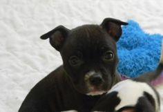 4 / 9   ***PUPPY ALERT*** Petango.com – Meet Onyx, a 1 month 21 days Terrier, American Pit Bull / Bulldog available for adoption in CEDAR BLUFF, AL Contact Information Address  5015 Alabama 9 Highway, CEDAR BLUFF, AL, 35959  Phone  (256) 779-7159  Website  http://cherokeehumane.org  Email  humanesociety@tds.net
