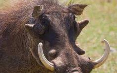 Warthog with big tusks portrait in bright sun light Poster. Safari, Portraits, Parcs, Wildlife, Elephant, African, Jewel, Lion, Southern