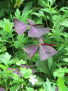 カタバミ. Oxalis corniculata. 1 August 2016.