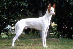 Ibizan Hound , Very Regal looking!