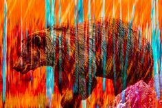 vanishing species fiery bear by markbowenfineart Fine Art Photography, Digital Art, Horses, Gallery, Artist, Bear, Painting, Animals, Popular