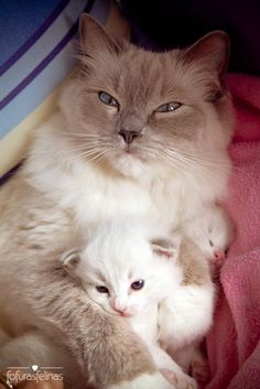 A grey and white, fluffy, mother cat holding her newborn kitten in her arms.