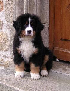 Simple Bernese Mountain Dog Chubby Adorable Dog - 2a3089a2f2a5944ad444bbe3db7f3f15--bernese-mountain-dogs-cutest-dogs  HD_72624  .jpg