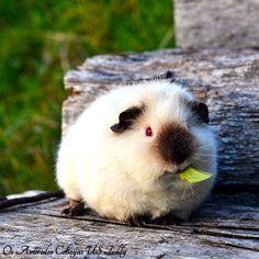 very cute himalayan guinea pig