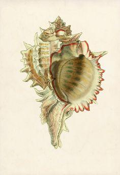 A Murex Shell 13 x 19 Sea Art Print Poster