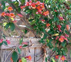 Clambering along the back fence, 'Tangerine Beauty' crossvine (Bignonia capreolata 'Tangerine Beauty'   Digging