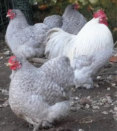 Norfolk Garden Chickens - Pekin Bantams