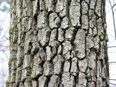 nyssa sylvatica bark - Google Search