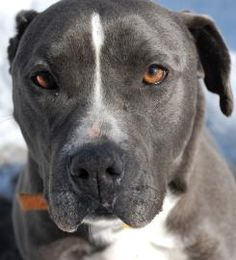 ★2/16/15 SL★SENIOR★BEAUTIFUL BOY!!!★Petango.com – Meet Blue, a 11 years 5 months Terrier, Pit Bull / Mix available for adoption in BLOOMFIELD, CT Contact Information Address 188 Rescue Lane, BLOOMFIELD, CT, 06002 Phone (860) 519-1516 Website http://www.thesimonfoundation. org Email Stephanie.Ferguson@thesimonfou ndation.org