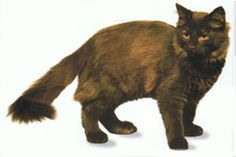 Chantilly / Tiffany Cat, often have a chocolate & amber coat Chantilly Tiffany, Cat Breeds, Amber, Kitty, Smoke, Chocolate, Cats, Animals, Cuddle Cat
