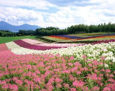 Flower fields!
