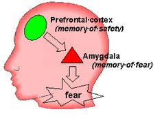 Researchers speculate that since the prefrontal cortex (PFC)sends signals to the amygdala, which is a cluster of nerve cells in the brain that stores memories, including those of fear, stimulating the PFC may directly impact the ability to remember a fear response.If left unchecked, emotional memory can lead to anxiety, panic attacks,Agoraphobia & PTSD. Normally, the PFC dampens the amygdala's response & calms the fear. But for most PTSD sufferers, their PFC does not send this message.