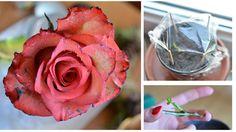 Darovaná ruža, ktorá neodumrie