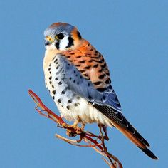 american kestrel pictures | An American Kestrel enjoying the view about 8 miles west of Guymon ...