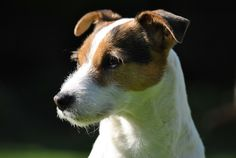 Parson Russell Terrier dog, animal, pet animal, muzzle wallpaper