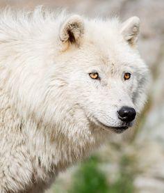 Arctic Wolf by Polluar