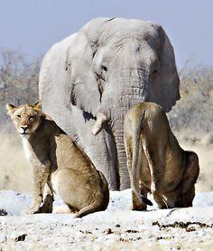 Namibia/ Elephant & Lions