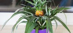 Jak wyhodować ananasa w domu?