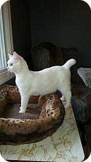 North American Bobtail Cat