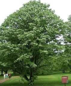 A Linden Tree: Tilia tomentosa