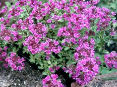Image result for Thymus serpyllum
