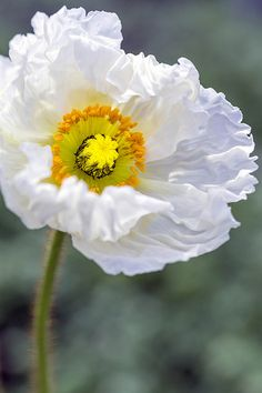 exotic flowers and plants Flowers Nature, Exotic Flowers, Amazing Flowers, White Flowers, Beautiful Flowers, Icelandic Poppies, Flower Seeds, Flower Photos, Flower Art