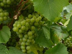 Melon de Bourgogne grapes in the Loire makes one of the famous wines in the region -  Muscadet.  Click the photo to read the Beginner's Guide to French Wines via SeriousEats