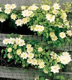 Clematis 'Guernsey Cream'. Compact, free-flowering hybrid whose beautifully rounded blooms have a unique and subtle coloring of creamy white with a darker yellow central bar showing green tints as the flower opens. Yellow anthers and broadly overlapping tepals further enhance each bloom.    Size: 6'-8' tall.. Bloom time: Late spring-early summer. Plant zones: 4-9. PRUNE GROUP 2