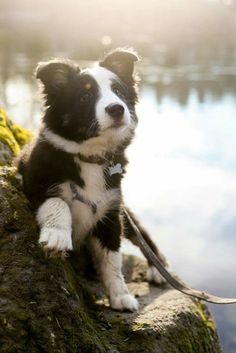 A beautiful Border Collie ❤