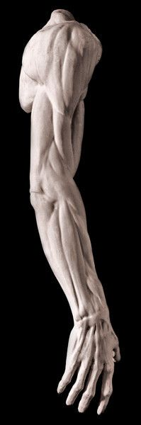 Male Anatomical Arm Sculpture For Sale, Item Arm Anatomy, Human Body Anatomy, Anatomy Poses, Anatomy Study, Anatomy Art, Anatomy Sketches, Anatomy Drawing, Human Reference, Anatomy Reference