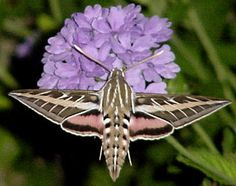 Sphinx Moth, had one of these in my yard tonight!