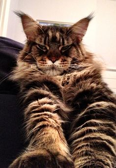 I would love to have one, but I think it might beat up my Pit... George the maincoon 1 year