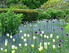 White tulips, alliums and blue Forget-me-nots: simple but very effective.