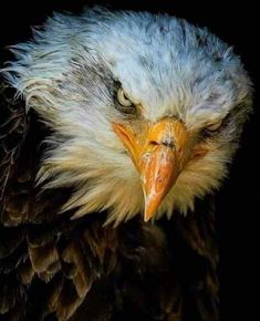 Tagged with military, usa, wildlife, picture, bald eagle; Shared by Bald Eagle Eagle Images, Eagle Pictures, Animal Pictures, Owl Bird, Pet Birds, Beautiful Birds, Animals Beautiful, Regard Animal, The Eagles