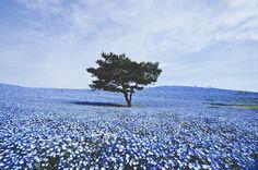 Spring season in Hitachi Seaside Park