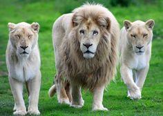O Leão-branco é uma rara mutação de cor do leão-sul-africano (Panthera leo krugeri), devido a uma particularidade genética chamada leucismo. O leão branco não constitui uma subespécie separada. Distingue-se dos leões-sul-africanos normais apenas pela sua pelagem muito clara, quase branca, causada por anomalias em seus genes.