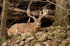 Photo by Lance Krueger  Don't bother trying to walk up a bedded buck, some hunters will tell you. It's too risky and almost impossible to pull off. But in fact, you've got nothing to lose when the buck you want goes nocturnal, when bad weather puts deer down during your only vacation days, or when the rut is about to pop and send your best bucks into the next county. I've personally taken several trophies by sneaking into their bedrooms. You can, too, if you follow this plan: