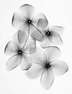 x-ray tattoo. Black and white Plumeria Flower Tattoos, Xray Flower, Blatt Tattoos, Tattoo Fleur, Ray Tattoo, Aquarell Tattoo, Black And White Flowers, Black White, Nature Tattoos