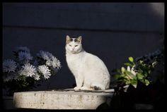 Cat from the Campo Verano in Rome, Italy