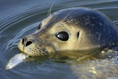 Atlantic harbor seal... true seals have no external ears (the exception being the fur seal) which distinguishes them from sea lions.