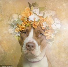 Puppy love: New York-based photographer Sophie Gamand's new series Flower Power aims to reveal the softer side of pit bulls. (Pictured: Two-...