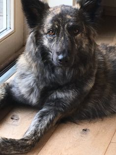 Dutch Shepherd Dog, Holland, Dogs And Puppies, Animals, Long Hair, The Nederlands, Animales, Animaux, The Netherlands