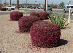 valentine shrub arizona