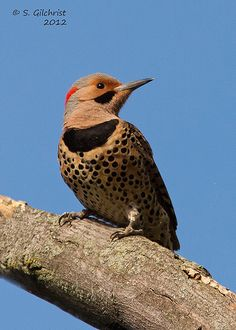 Northern Flicker Harbison State Forest 12/27/13
