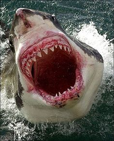Great White Shark... The Sea is all yours...all yours...alllll yoursss....
