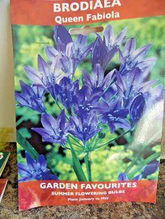 BRODIAEA   Queen Fabiola #Unbranded Summer Plants, Bulbs, Planting Flowers, Seeds, Queen, Garden, Ebay, Lightbulbs, Garten