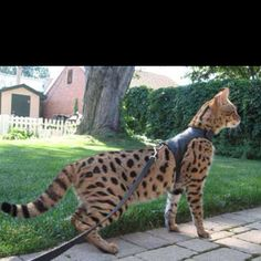 Own a savannah cat .... actually saw one of these in person and they are absolutely stunning